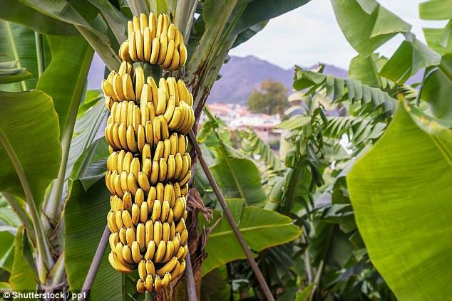 """Panama Disease"" Threatens Bananas With Extinction"