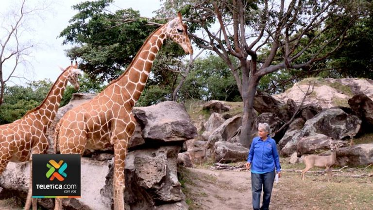 """Could Costa Rica become a """"gene bank"""" for giraffes?"""