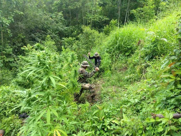 Eradication of marijuana in Zona Sur and Talamanca (Photos & Videos)