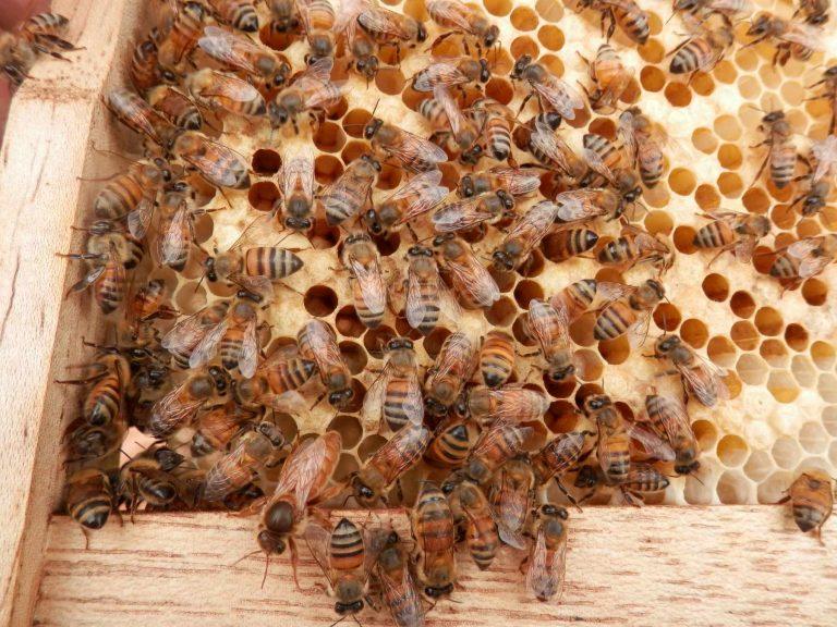 Bees. An Endangered Species!