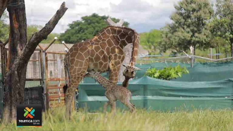 Sofía is Giraffe #13 is born in Costa Rica. She is from Guanacaste.