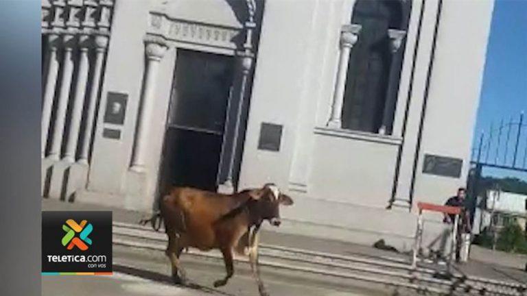 Cow Terrorizes San Ramon Center (Photos and Video)