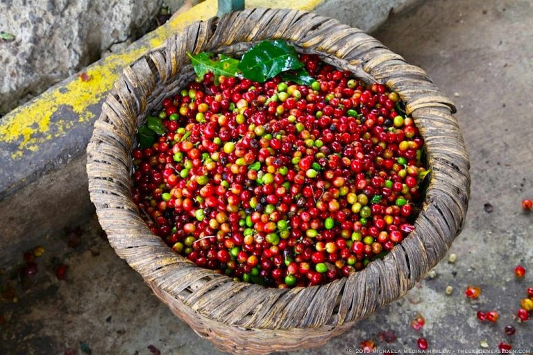 Coffee harvest will fall 11% in the 2018-2019 season