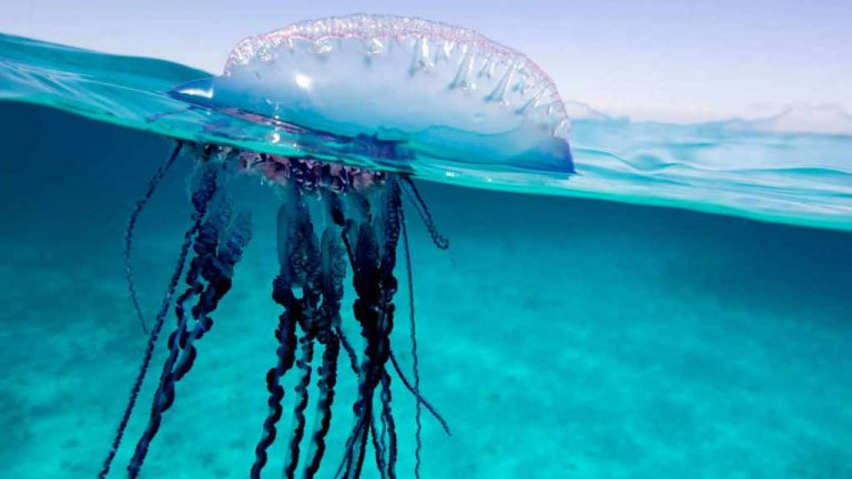 What are the Portuguese man o' war found in the Caribbean and why are they dangerous?