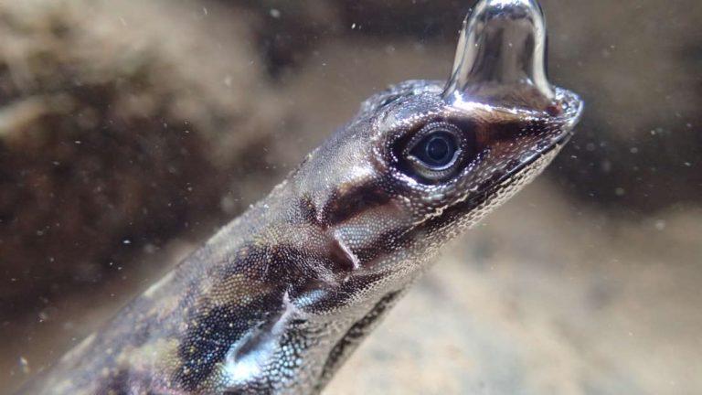 Meet Costa Rica's 'Scuba-diving' lizard