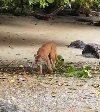 Tour Guide Suprised by Cougar In Corovado Beach