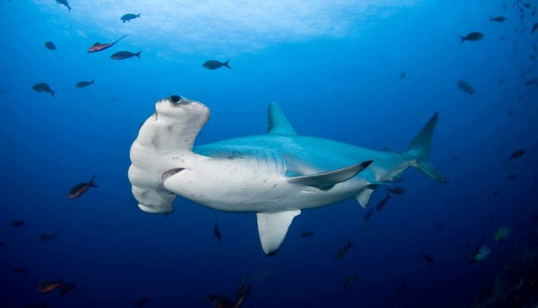 Conservation charity honors campaign to save Costa Rica's hammerhead sharks from illegal fishing