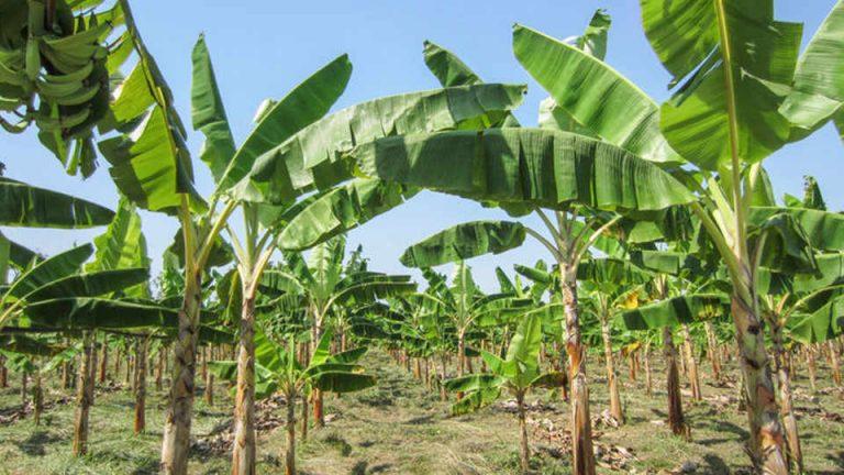 Devastating banana disease may have reached Latin America