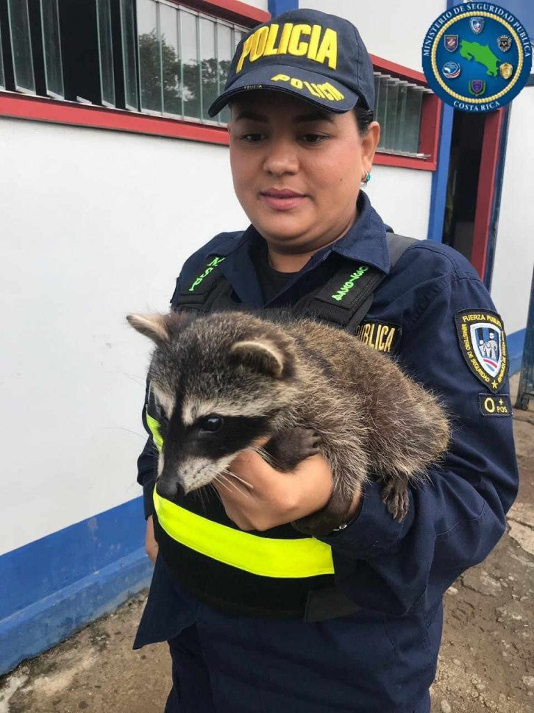 Baby Racoon Looking For Help Follows Young Couple