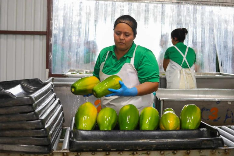 With a new plant, Parrita producers will again export papaya to Spain and Canada