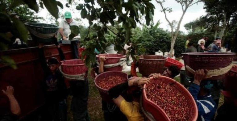 Costa Rica Coffee Exports Fall 'Roya' Continues To Hit Crop