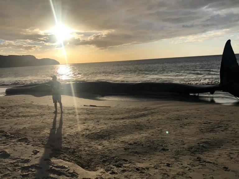 Whale Runs Ashore in Playa Cabuyal