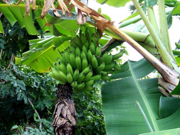 Costa Rica Banana Price Increase Announced
