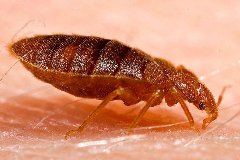 'Bed bugs' reappear in Costa Rica after 20 years
