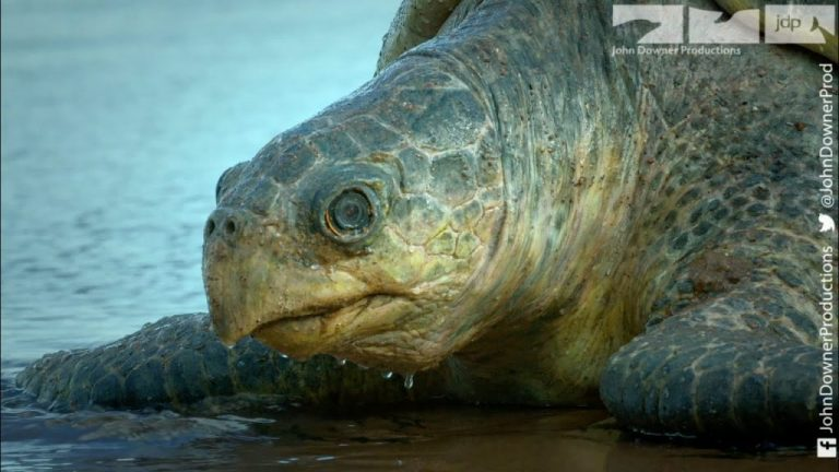 Robotic Spy Sea Turtle Crawls Up Costa Rican Beach to Lay Camera Eggs For Vultures to Steal