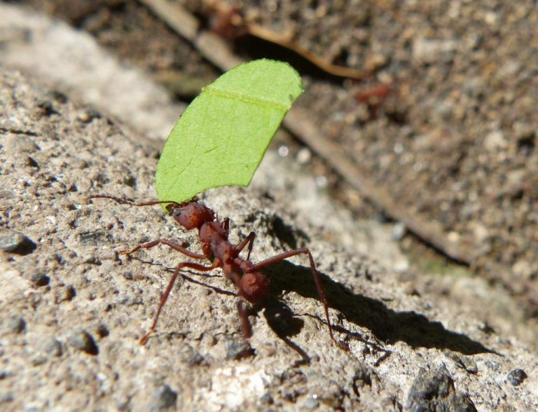 Zompopas: Costa Rica's Leafcutter Ants