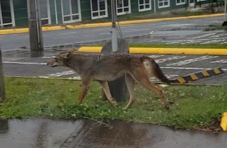 Hungry coyotes roam the TEC campus in Cartago