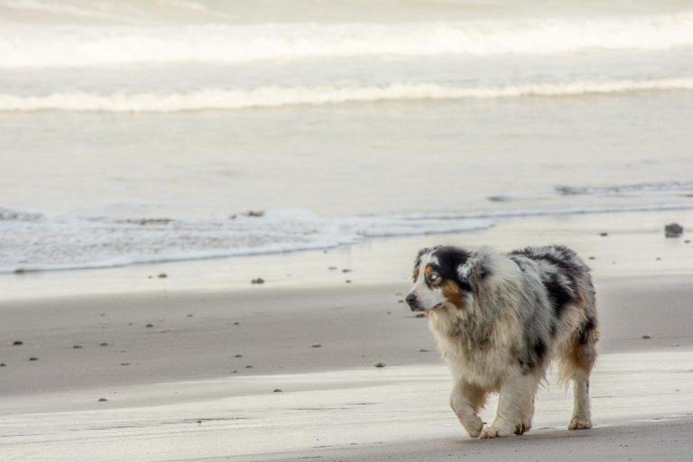 Dog walking the beach in Santa Teresa