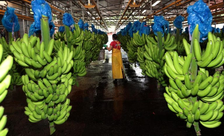Banana growers achieved record exports in the year of the pandemic