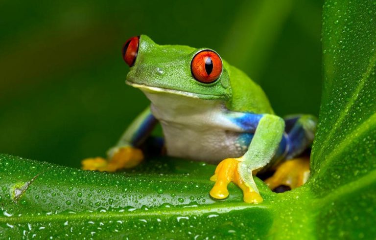 A deadly fungus is killing frogs, but the bacteria on their skin could protect them