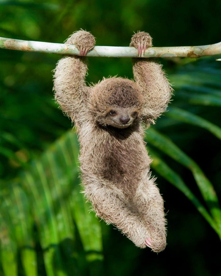 Costa Rican Baby Sloth Won the Love of Lonely Planet Fans
