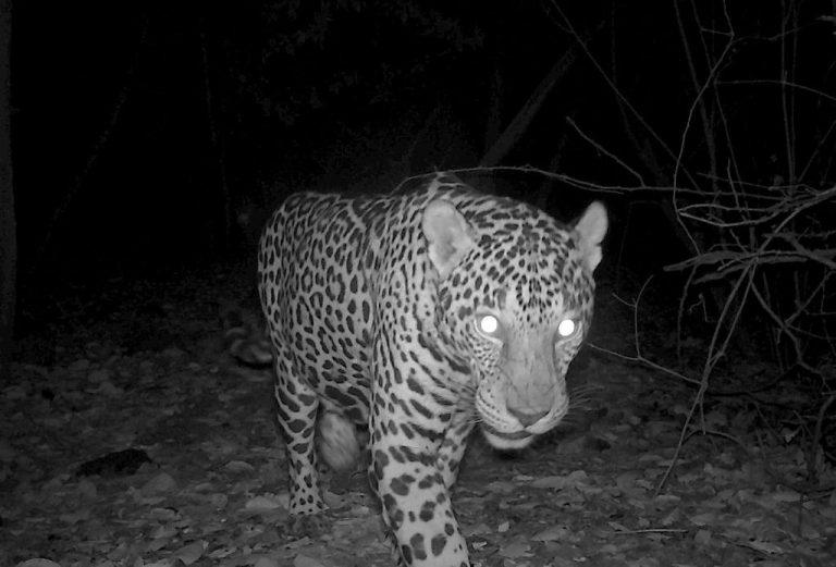 Camera captures two jaguar siblings hunting in Guanacaste beach