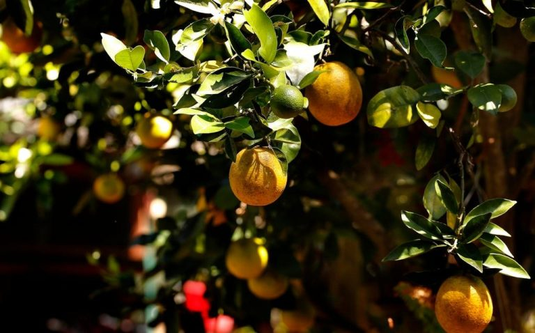Diseases, weather and low prices hit the orange sector in Costa Rica