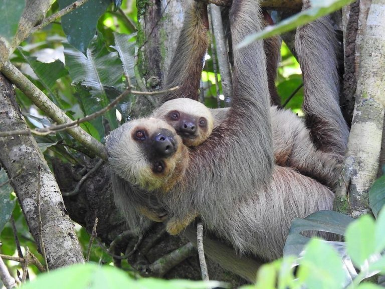 The sloth takes a leap to become a national symbol