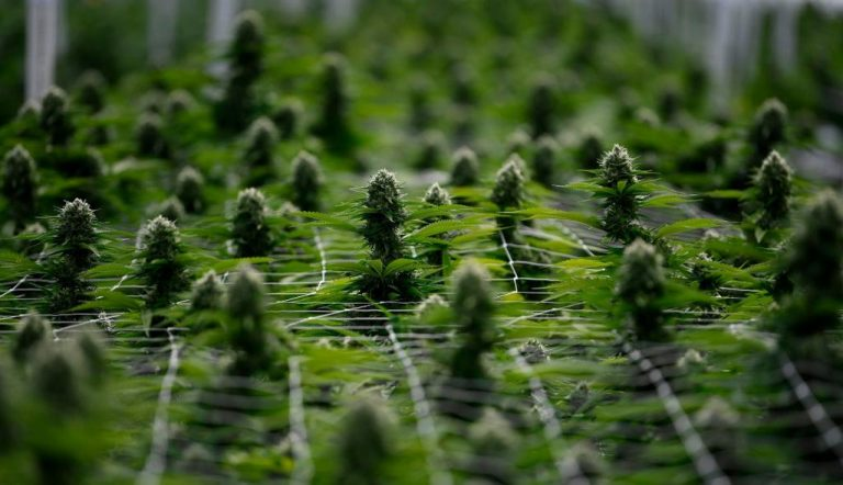 Costa Rica legalizes production of medicinal cannabis and hemp